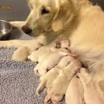serice dog litter-9 pups